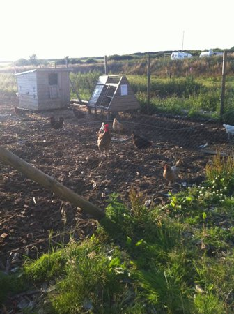 Westland Farm : Chickens