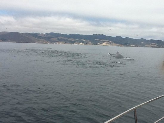 Central Coast Sailing Charters: Whale and sea lions  swimming off Spirit's starboard beam.