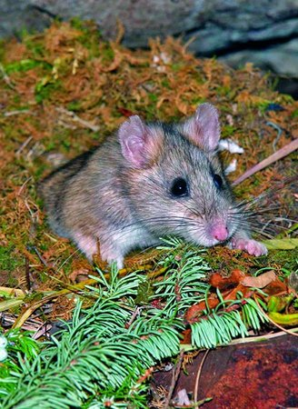 Canmore Cave Tours: A bushy-tailed wood rat in his nest.