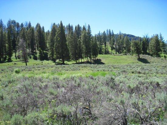 Slough Creek Campground: Steppe-sage habitat