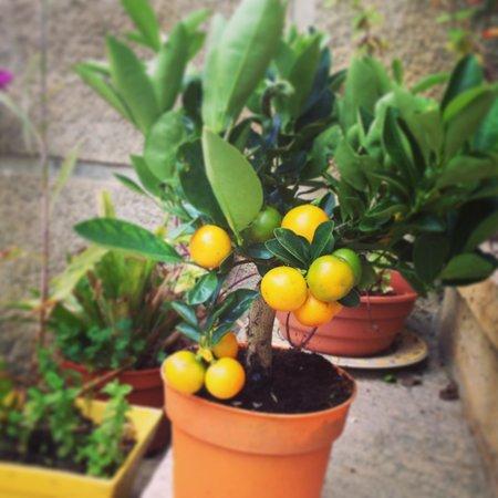 Casa Grande: Orange plant