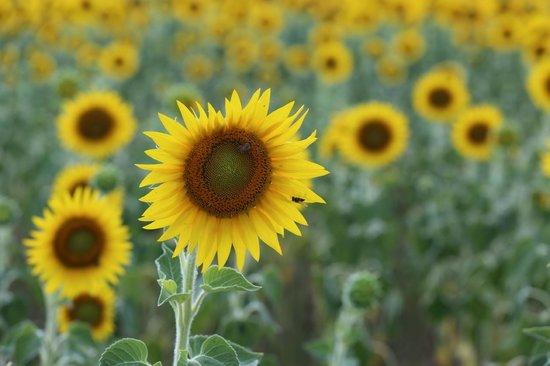 Hotel La Bastide d'Iris : Sunflowers fields