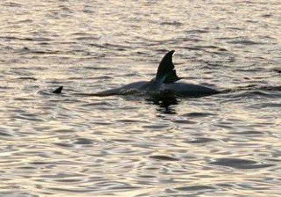 Tarpon Bay Explorers : Shark? :) Naw..dolphin!