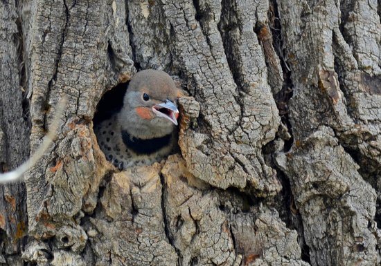 Paul Martin's Photo Safaris -Tours: A Flicker about to leave its nest