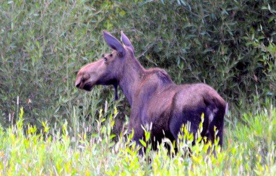 Paul Martin's Photo Safaris -Tours: Good morning Moose !!