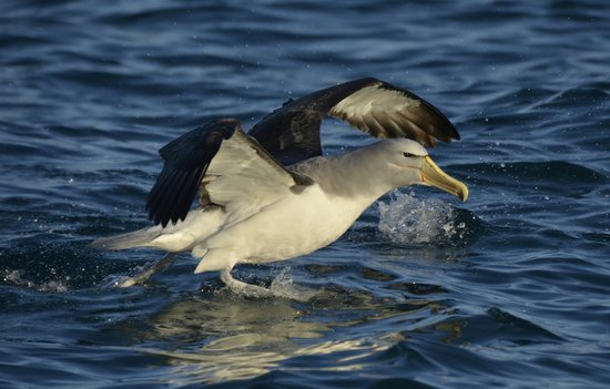 Albatross Encounter: One of the many albatross we saw