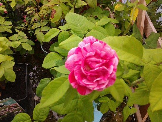 La Roseraie de Provins : une belle rose