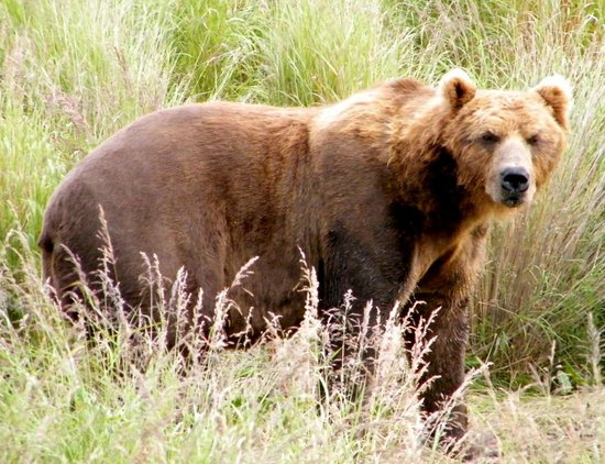 Alaska's Kodiak Island Resort: Brown Bears were everywhere!