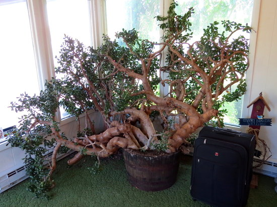 Clark's Motel : This is an amazing Jade tree in the lobby.