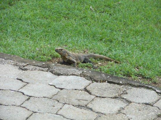 Sugar Beach Hotel: Iguana sunning himself
