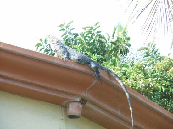 Sugar Beach Hotel: Iguanas everywhere!
