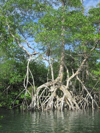 The Resort at Isla Palenque: Banyan tree during Kayak excursion