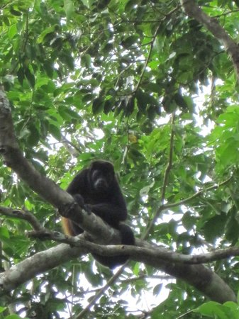 The Resort at Isla Palenque: Howler Monkey