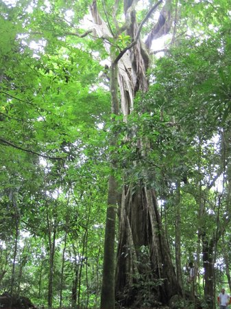 The Resort at Isla Palenque: Giant tree used for tree climbing
