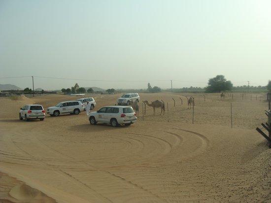 Arabian Team Adventures: The camels