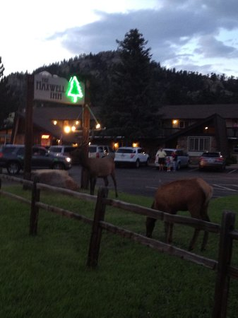 The Maxwell Inn : Elk grazing at the Inn , beautiful sight!