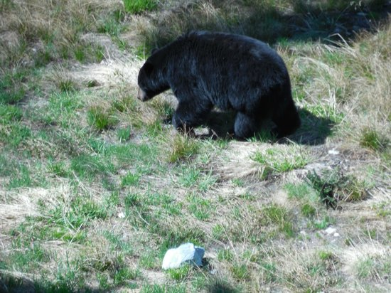 Pan Pacific Whistler Mountainside: Bear sighting from pool area