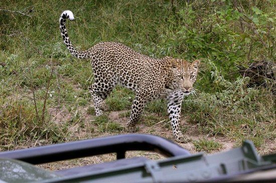 Tanda Tula Safari Camp: So lucky to see this beautiful leopard