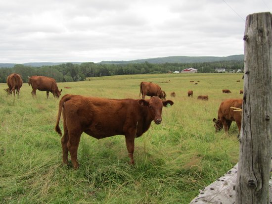 Clayton Farm Bed & Breakfast: Red Angus cattle