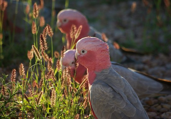 Ningaloo Bed & Breakfast: Galahs