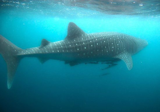 Ningaloo Bed & Breakfast: Whaleshark