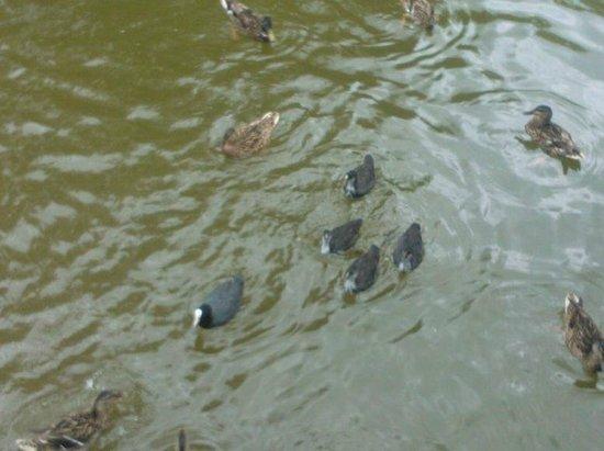 Gosciniec Olecki: Ducks in the lake