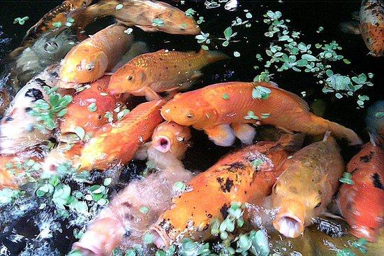 Palmiarnia Poznanska (Palmenhaus Poznan): Wiele oczek z rybami które można karmić