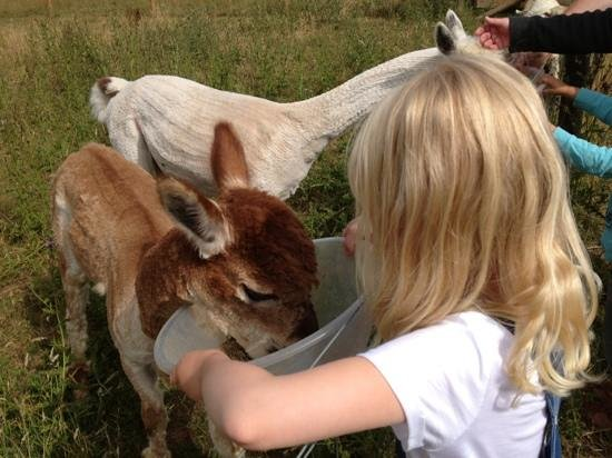 Country Ways Holiday Cottages: Feeding the alpacas - Toffee and Spooky