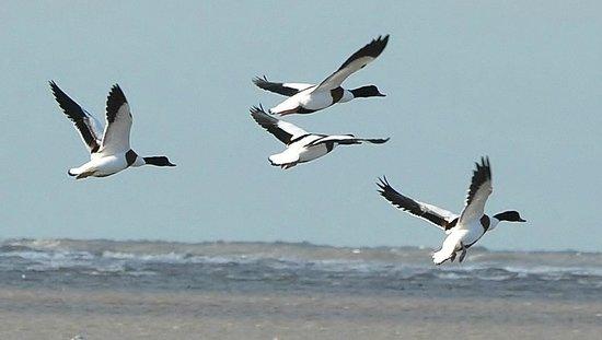 West Kirby Beach: Shelducks in flight