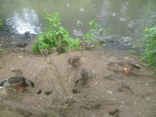Manor Farm Country Park: Feeding of the Ducks