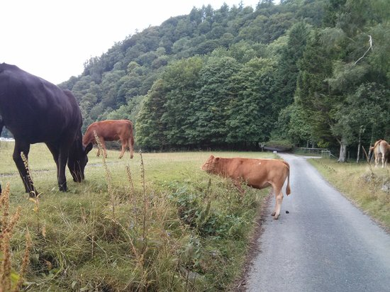 Country Lanes Cycle Centre: Cows on route :)