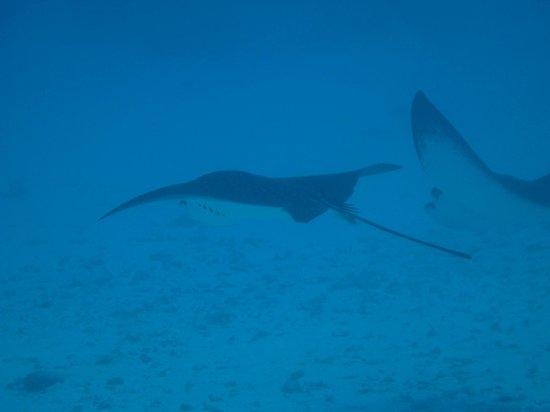 TOPDIVE Bora Bora : Eagle Rays (drift dive)