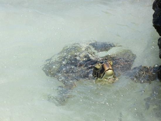 Manini'owali Beach (Kua Bay): sea turtles