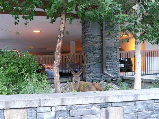 Banff Aspen Lodge: found elk hiding near the parking lot