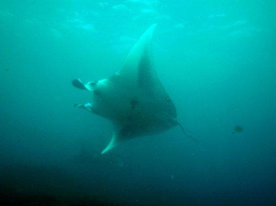 Raie Manta avec Bali Breizh Divers