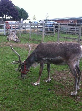 Small Breeds Farm Park and Owl Centre: reindeer