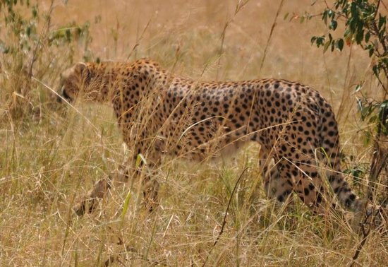 Heritage of African Jungles: welcome by leopard family at masai maara