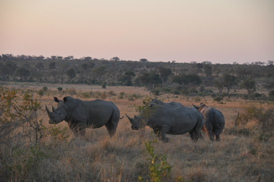 Pungwe Bush Camp : 2 rhinos fighting it out for the female