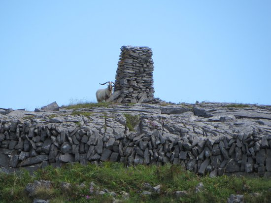 South Aran House : Inis Oirr Wild Ram