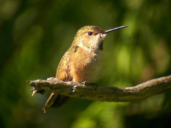 Cobble Wood & Bird Sanctuary Guest Houses: Rufous Hummingbird outsite as seen from suite window