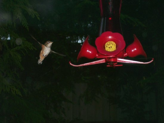 Cobble Wood Guesthouse and Bird Sanctuary House & Suites: Rufous Hummingbird at feeder as seen from suite window