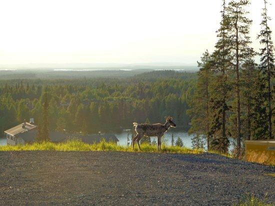 Matkailumaja Heikkala: Reindeer in Ruka