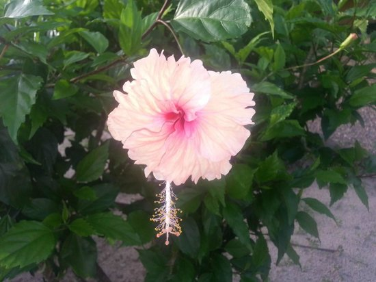 Nautical Inn: Another beautiful flower here in the tropics