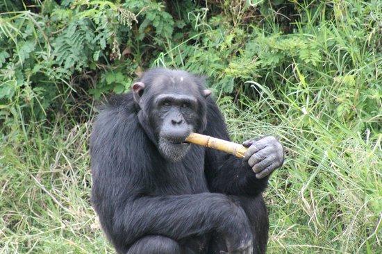 Antony Adventure Tours Kenya Safaris - Day Tours : Schmipanse beim Zuckerrohr kauen