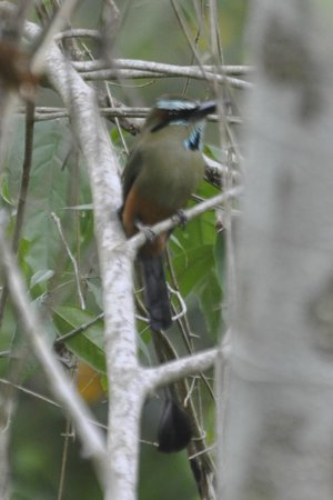 Olingo Surf and Nature Experiences: Turquoise-browed Motmot
