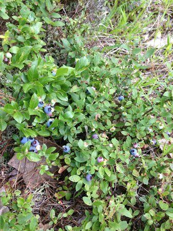 Somes Sound View Campground: Maine Blueberries