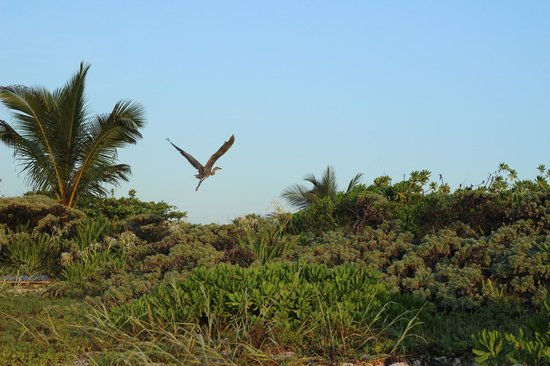 Grand Palladium Kantenah Resort & Spa: Un pelican