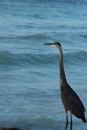 Grand Palladium Kantenah Resort and Spa: Un autre pelican