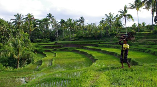 Serenity Ubud Villas: les rizières le soir... on ne s'en lassera jamais...