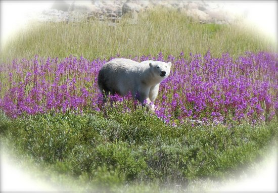 Seal River Heritage Lodge: as I said - polar bears among flowers - not snow